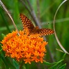 Great Spangled Fritillary - #1