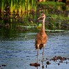 Sand Hill Crane looking for dinner