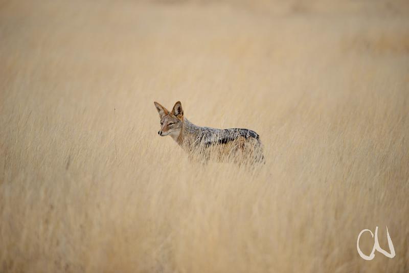 Jackal in dry Grass