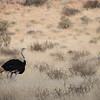 Kalahari Ostrich