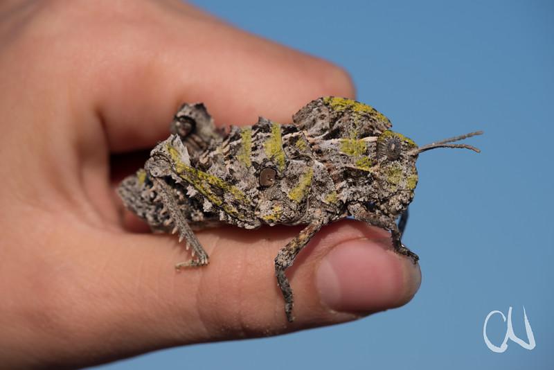 West Coast Locust