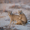 Mongoose Mating