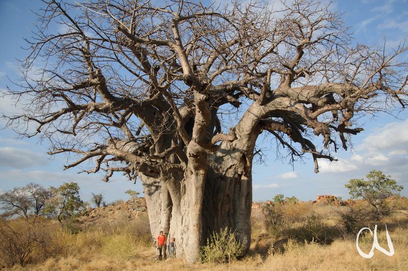Afrikanischer Affenbrotbaum, Baobab, Adansonia digitata, Mapungubwe National Park, Limpopo, South Africa, Südafrika