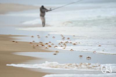Strandkrabbe, Pink Ghost Crab, Ocypode ryderi, in the intertidal zone on the beach, Sodwana Bay, Südafrika, South Africa