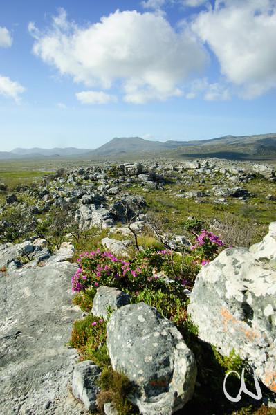 Felslandschaft mit Wilden Geranien, (Pelargonium cucullatum), Table Mountain National Park, Kap der Guten Hoffnung, Südafrika, [en] Cape Peninsula, Cape of Good Hope, South Africa