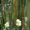 Strohblume und Restio-Pflanze im Fynbos, Restionaceae, De Hoop Nature Reserve, Western Cape, Südafrika