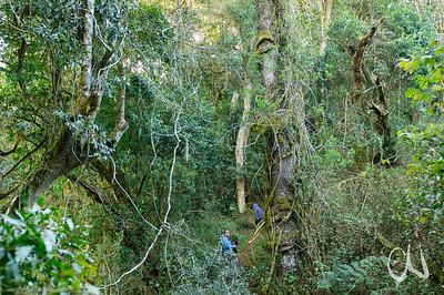 Wanderweg durch letzte Urwaldreste in Magoebaskloof, hiking through last remnants of natural forest in Magoebaskloof, Limpopo, Südafrika, South Africa