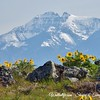 Balsamroot and Mission Mountains