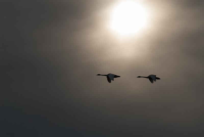 Tundra Swans, Bombay Hook National Wildlife Refuge