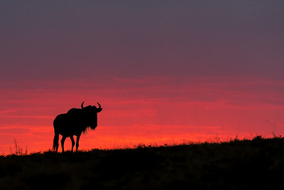 A wildebeest silhouetted as the sun sets in Kenya