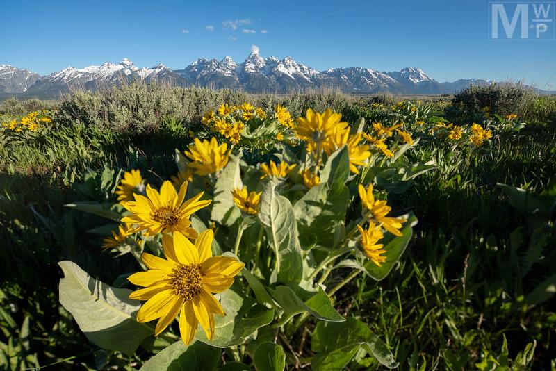 Teton Bloom