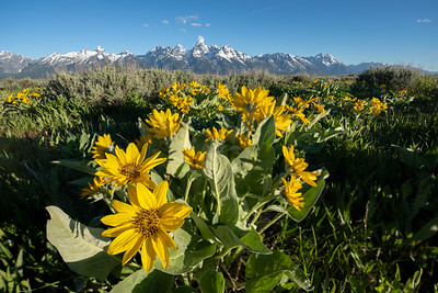 Teton Bloom