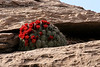 Cactus Bloom On Cliff