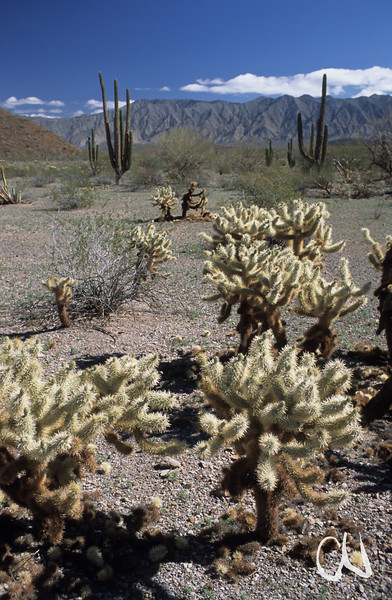 Opuntie, Kaktus, Baja California, Niederkalifornien, Mexiko, Mexico