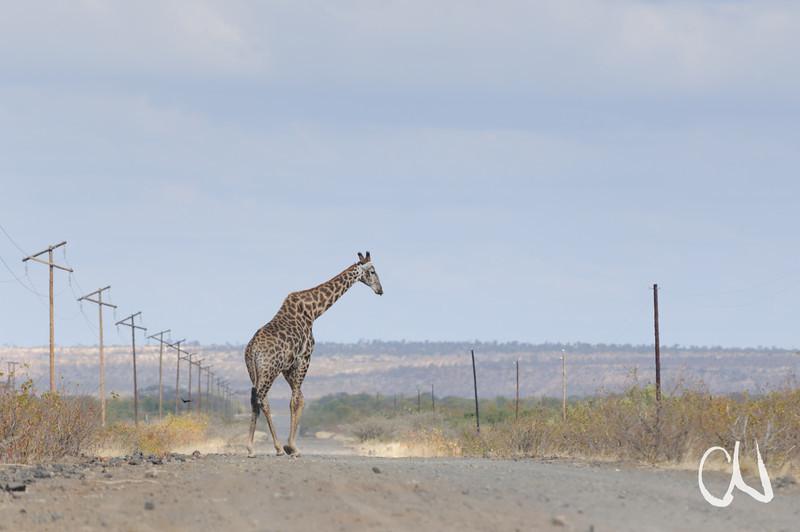 giraffe crossing road, Giraffe, Giraffa camelopardalis, Mapungubwe National Park, Limpopo, South Africa, Südafrika