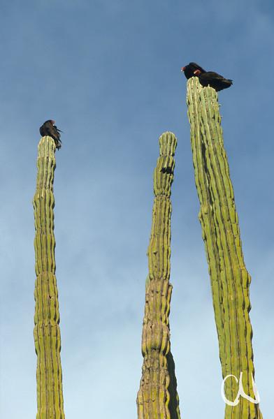Geier auf Kakteen, Turkey Vulture, Truthahn-Geier, Cathartes aura, Pachycereus pringlei, Baja California, Niederkalifornien, Mexiko, Mexico