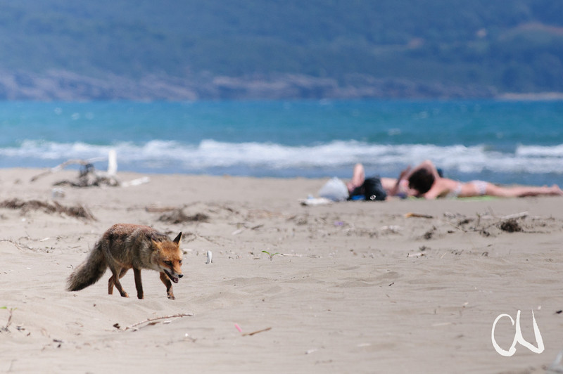 Rotfuchs, Vulpes vulpes, und  Touristen am Strand, Naturpark Maremma, Parco Naturale della Maremma, bei Alberese, Provinz Grosseto, Toskana, Italien, Europa, Tuscany, Italy