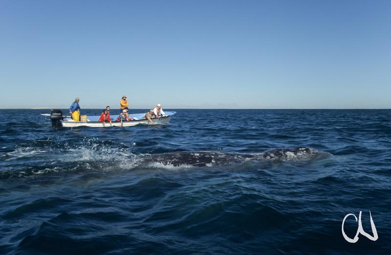 Grauwal, whale-watching, Laguna San Ignazio, Eschrichtius robustus, Baja California, Niederkalifornien, Mexiko, Mexico