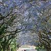 flowering Jacaranda trees, alley, Jacaranda mimosifolia, Jacaranda-Blüte in Pretoria, Allee, Südafrika, South Africa, Jacaranda-Blüte, Pretoria, Südafrika, South Africa