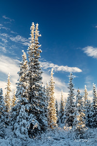 Sun Kissed Spruce