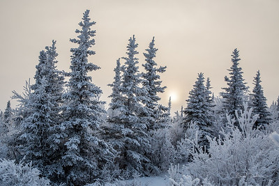Foggy Frosty Spruce