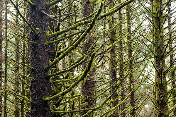 Oregon Mossy Trees