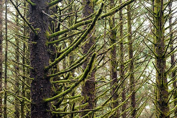 Oregon Mossy Trees
