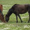 Maremmano, Maremma-Pferd, weidet zwischen Acker-Hundskamille, Equus, Maremma, Toskana, Italien