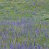 artenreiche Blumenwiese, dominiert von Gemeiner Natternkopf, Echium vulgare, und Färber-Wau, Reseda luteola, Stribugliano, Monte Buceto, Region Monte Amiata, südliche Toskana, Italien