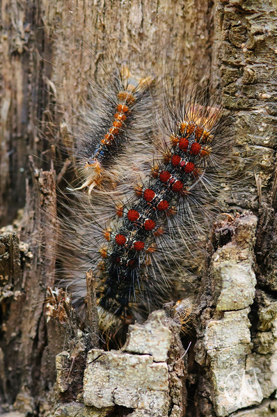 Raupen des Schwammspinners, Lymantria dispar auf einer Korkeiche, Quercus suber, Toskana, Italien