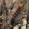 Raupen des Schwammspinners, Lymantria dispar auf einer Korkeiche, Quercus suber, Toskana, Italien, Tuscany, Italy
