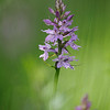 Geflecktes Knabenkraut, (Dactylorhiza maculata), Orchidee, Maremma, Toskana, Italien