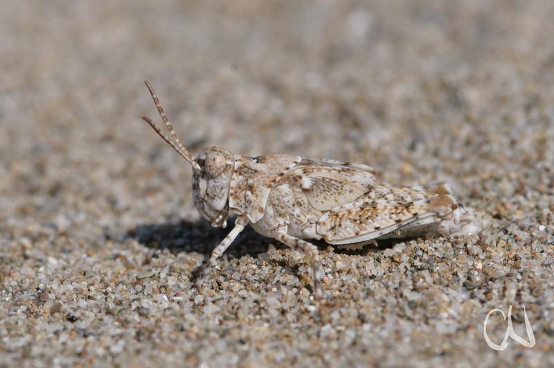 im Dünensand gut getarnte Nymphe einer Heuschrecke, Naturpark Maremma, Parco Naturale della Maremma, bei Alberese, Provinz Grosseto, Toskana, Italien