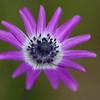 wild wachsende Stern-Anemone, Anemone hortensis, flower, Tuscany, Italy, Anemonen-Blüte in der Toskana, Italien, Maremma, Toskana