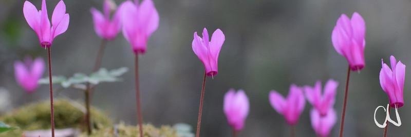 Gewschweiftblättriges Alpenveilchen, Cyclamen repandum,  Roccalbegna, Toskana, Italien, Tuscany, Italy, Maremma, Toskana