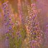 Gemeiner Natternkopf, Echium vulgare, Stribugliano, Monte Buceto, Region Monte Amiata, südliche Toskana, Italien, Italy, Toskana, Italien, Tuscany, Italy