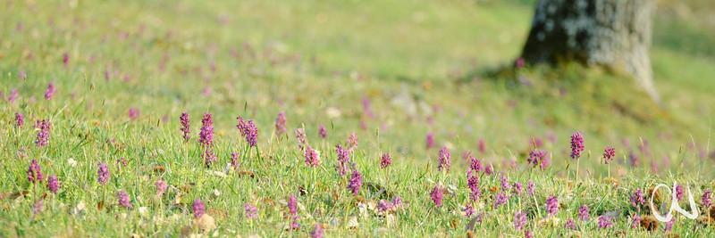 Kleines Knabenkraut, Orchis morio, Orchidee, Toskana, Alta Maremma, Italien, orchid, Tuscany, Italy, Toskana