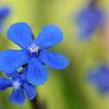 blaue Blüten der Italienischen Ochsenzunge, Anchusa azurea, Alta Maremma, bei Monticello Amiata, Toskana, Italien
