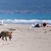 Rotfuchs, Vulpes vulpes, und  Touristen am Strand, Naturpark Maremma, Parco Naturale della Maremma, bei Alberese, Provinz Grosseto, Toskana, Italien