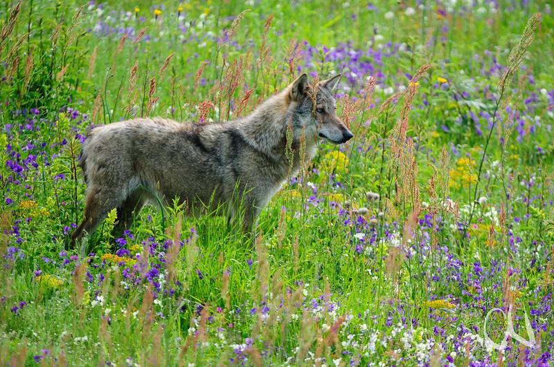 Appeninischer Wolf (Canis lupus) steht in einer Blumenwiese mit Etruskischen Veilchen (Viola etrusca), Parco Faunistico del Monte Amiata, captive, Maremma, südliche Toskana, Italien