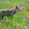 Appeninischer Wolf, Canis lupus, Parco Faunistico del Monte Amiata, captive, Maremma, südliche Toskana, Italien, Italy, Toskana, Italien, Tuscany, Italy