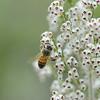 Honigbiene, Apis mellifera, an einer blühenden Baumheide, Baum-Heide, Erica arborea, Toskana, Italien, Maremma, Tuscany, Italy, Toskana