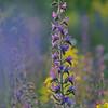 Gemeiner Natternkopf, Echium vulgare, Stribugliano, Monte Buceto, Region Monte Amiata, südliche Toskana, Italien