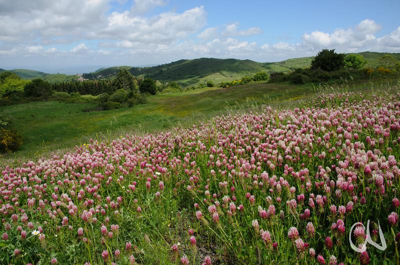 Wiese mit Inkarnat-Klee (Trifolium incarnatum) im Monte Labbro-Gebiet, Maremma, Toskana, Italien