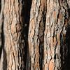 Schirmkiefer, Pinie, Schirmkiefer, Pinus pinea, Rinde, Borke, Stamm, bark, Feniglia, Laguna di Orbetello, Maremma, Toskana, Italien, Tuscany, Italy