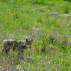 Appeninischer Wolf in Veilchenwiese, Viola etrusca, Canis lupus, Captive, Parco Faunistico del Monte Amiata, Maremma, südliche Toskana, Italien, Tuscany, Italy, Maremma