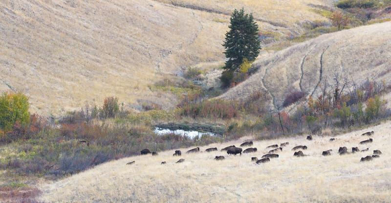 Fall Buffalo