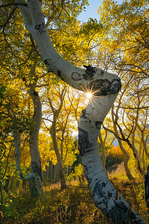 Atypical Aspen