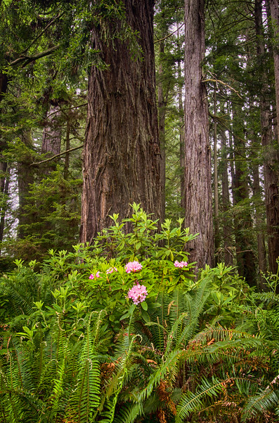 Redwoods Rhodedendren Bloom