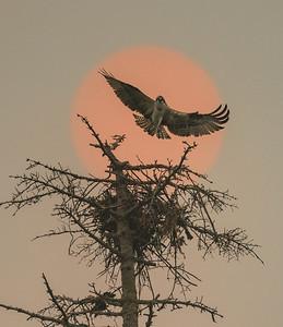 Smoky Seahawk